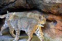 对尾巴的美洲野猫头 免版税库存照片