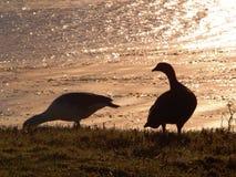对山地鹅Chloephaga picta 免版税图库摄影