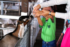 对山羊的哺养的牛奶在农场 库存照片