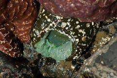 紧贴对岩石的海葵 库存照片