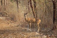 对峙与鹿 免版税库存图片