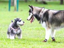 对峙在西伯利亚爱斯基摩人和髯狗之间 免版税图库摄影