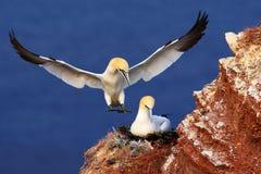 对巢的鸟landind与在egs的女性开会 从自然的野生生物场面 在岩石峭壁的海鸟 免版税库存图片