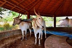 对工作的黄牛在印度 免版税库存照片