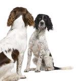 对年的1个英国表面西班牙猎狗蹦跳的 库存图片