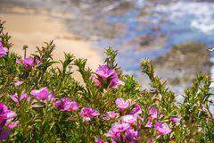 对开花在太平洋海岸线的春天的Clarkia Rubicunda告别 库存图片