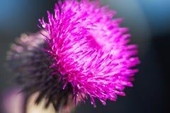 对开花的植物名(牛蒡属lappa)的特写镜头视图在黑暗的背景 图库摄影