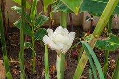 对开花的白色火炬姜Etlingera Elatior杰克R的特写镜头 M 史密斯花 库存图片
