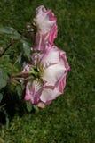 对开花的美丽的五颜六色的玫瑰在庭院里 库存照片