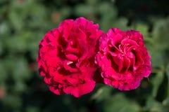 对开花的美丽的五颜六色的玫瑰在庭院里 库存图片
