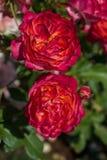 对开花的美丽的五颜六色的玫瑰在庭院里 免版税库存照片