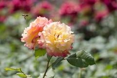 对开花的美丽的五颜六色的玫瑰在庭院里 免版税库存图片