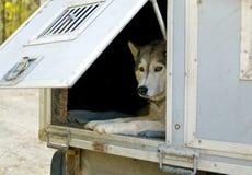 对拖车运输的狗 库存照片