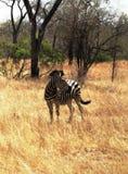 对掠食性动物的斑马戒备 免版税库存照片