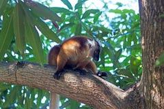 对易损坏的动物园的安塔那那利佛黑色地方性eulemur狐猴macaco马达加斯加 库存照片