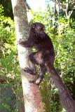对易损坏的动物园的安塔那那利佛黑色地方性eulemur狐猴macaco马达加斯加 免版税库存照片
