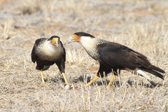 哺养在腐尸得克萨斯的有顶饰长腿兀鹰 免版税库存照片