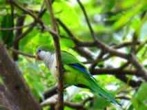 紧贴对树枝的鹦鹉 免版税库存图片