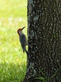 紧贴对树的红鼓起的啄木鸟 免版税库存图片