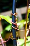 紧贴对框架的葡萄树卷须 图库摄影