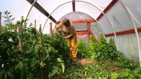 对棍子的妇女困境高蕃茄灌木在玻璃温室 图库摄影