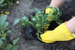 对植物蕃茄 库存图片