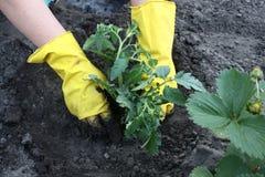 对植物蕃茄 免版税库存图片