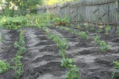 对植物蕃茄 库存照片