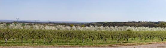 对樱桃树果树园的Panoramatic视图,捷克风景 库存图片