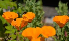 对橙色花的蜜蜂飞行 免版税库存照片