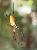对此的金黄丝绸蜘蛛是网 库存照片