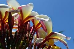 对比反对清楚的蓝天的美丽的野生黄色,桃红色和白色喇叭花 库存图片