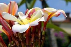 对比反对清楚的蓝天的美丽的野生黄色,桃红色和白色喇叭花 免版税库存照片