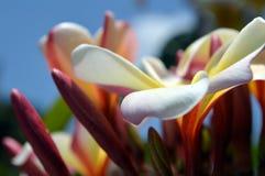 对比反对清楚的蓝天的美丽的野生黄色,桃红色和白色喇叭花 免版税图库摄影