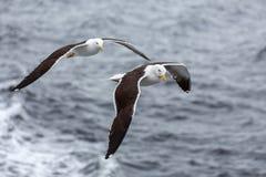 对海鸥飞行反对讨厌的天气的海 免版税图库摄影