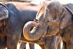 亚洲大象,准备显示。 库存图片