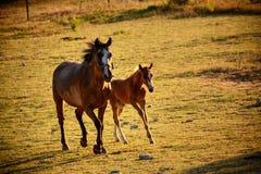 对牧场地的Giumenta和Puledro疾驰 免版税库存照片