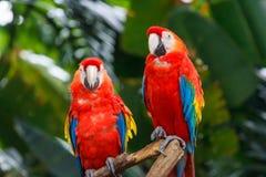 对猩红色金刚鹦鹉 库存图片