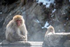 对猴子坐岩石 图库摄影