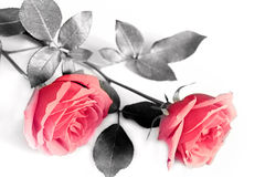 对玫瑰 免版税库存照片