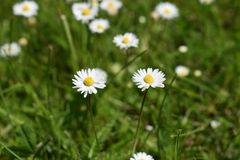 对白色春黄菊花和绿草 免版税库存图片
