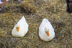对白色鸭子坐干草 对Pekin鸭子 图库摄影