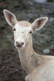 对的婴孩接近的鹿 库存照片