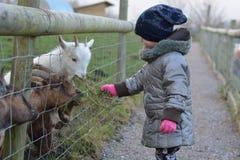 对矮小非洲山羊的年轻喂小孩草 库存照片