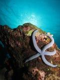紧贴对礁石的蓝色海星 免版税库存图片