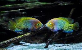对称地漂浮两条多彩多姿的鱼 库存图片