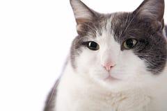 对称猫的纵向 免版税库存照片