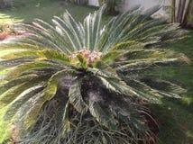 对称苏铁属植物 免版税库存照片