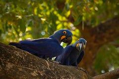 对稀有人物,在巢树在潘塔纳尔湿地,树孔,动物在自然栖所,巴西的蓝色鹦鹉风信花金刚鹦鹉 免版税库存照片