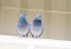 对窗口的家鸽行动 免版税库存图片